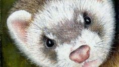 Ferret [Video Course] | Learn to draw this Ferret using Pastel Pencils. Video Course.