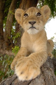 "Lion cub. See Over 2500 more animal pictures on my Facebook ""Animals Are Awesome"" page. animals wildlife pictures nature fish birds photography cute beautiful"