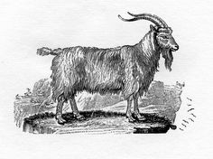 Here's an engraving of The Common Goat by Thomas Bewick for the Chinese New Year of the goat. It is from 'A General History of Quadrupeds, 1790.' Thomas Bewick (c. 11 August 1753 – 8 November 1828) was an English engraver and natural history author, born in Northumberland,England. This scan of the woodcut engraving is from Natural History Society of Northumbria's collection of original proofs. They are available for anyone to see by appointment in our museum library.