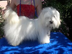 This pooch is from les Cotons de Tuléar d'Ivandry in France. http://www.lescotonsdetuleardivandry.fr/