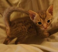 Chocolate Catiators Ocicat Ocicat, Cat Breeds, Cats And Kittens, Babies, Chocolate, Pictures, Animals, Beautiful Things, Bonito