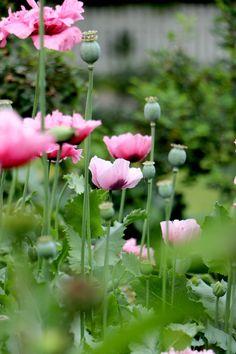 Pink Petals, Bouquet, Flower Farm, Dream Garden, Garden Inspiration, Botanical Gardens, Gardening Tips, Pretty In Pink, Flower Power