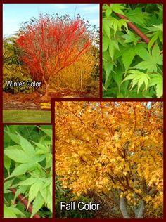 Japanese maple: Sango-kaku (coral bark maple). I love how this ...
