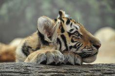 Tiger Cubs   Flickr - Photo Sharing!