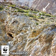 If you couldn't spot the snow leopard, you weren't the only one. This is one of as few as 4,000 snow leopards left in the wild. Click on the link of our bio to learn more. #snowleopardSOS