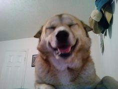 Lucy Cheesin' Labrador Retriever, Board, Dogs, Animals, Labrador Retrievers, Animales, Animaux, Pet Dogs, Doggies