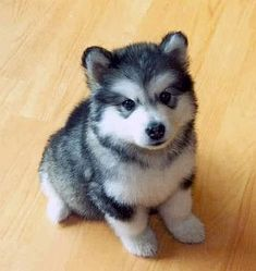 The POMSKY- Pommeranian/Siberian Husky. They do not get much bigger than the pommeranian, yet they have the adorable appearance of the husky!     I want this puppy!!!