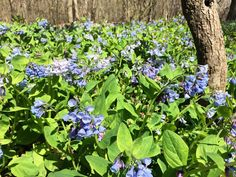 Cherry blossoms took a beating in this wind so we're counting on you #bluebells!  #findyourpark #VAoutdoors #loveVA