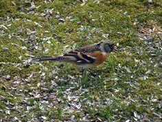 Põhjavint (Fringilla montifringilla) - Surface Mining, Limestone Quarry, Chaffinch, Great Tit, Animal Tracks, Bird, Animals, Finches, Zebra Finch