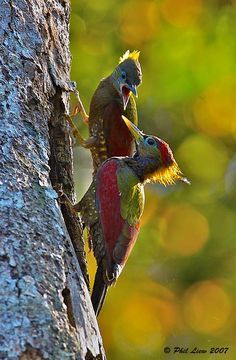 The Crimson-winged Woodpecker (Picus puniceus) is a species of bird in the Picidae family. It is found in Brunei, Indonesia, Malaysia, Myanmar, Singapore, and Thailand.