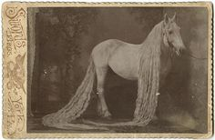Rare original c.1890 cabinet card of a famous horse named White Wings, who was a popular sideshow and circus attraction of the Victorian Era