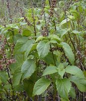 The herb ocimum gratissimum (Holy Basil) is already used for its pharmacologic properties, including anticancer activity. Photo credit: Forest and Kim Starr