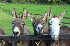 Best friends Denis, Abe and Ike | The Donkey Sanctuary Ireland | pinned from Facebook
