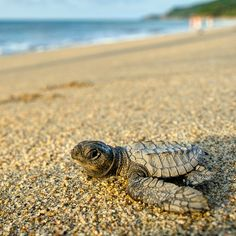 Sayulita, Mexico — by Matthew Karsten. At Campamento Tortuguero in Sayulita, they release baby sea turtles almost every evening around sunset in the fall....