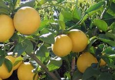 Citrus lemon 'Meyer Improved' is now available in the nursery at Westport Winery Garden Resort. It has fragrant white flowers that bloom throughout the year and produce thin skinned, juicy lemons. Good in containers. Bring inside for winter (zone 9, not hardy). The nursery is open daily from 11-7,