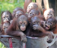 Monkeying around: These orphaned baby orangutans are being wheeled to 'jungle school' at I...
