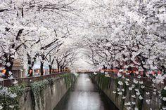 Nakameguro Canal, Japan| 13 Enchanting Tree Tunnels You Need To Walk Through