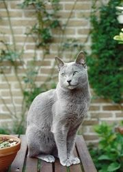 Russian Blue ---My FAVORITE hypoallergenic cat yet.... Dan... watch out! when we are allowed to have animals....