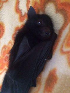 Goodnight 😴 Dragons 🐉 may sleep as cuddled and comfy as this adorable bat 🦇 ⠀⠀⠀⠀⠀⠀⠀⠀⠀ . Cute Baby Animals, Animals And Pets, Funny Animals, Black Animals, Fox Pups, Amor Animal, Bat Animal, Cute Bat, Cute Baby Bats
