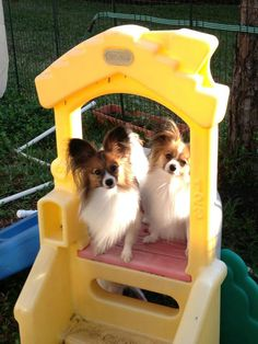 My friend Cynthia Springer at Rocyn's Papillons are adorable Papillon Puppies, I Love Dogs, Make Me Smile, Corgi, Paradise, Creatures, Butterfly, Pets, Baby