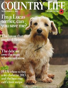 November I'm a Lucas terrier, can you save me? Terrier Breeds, Terrier Puppies, Terriers, Lucas Terrier, Country Life Magazine, English Magazine, Sealyham Terrier, Norfolk Terrier, Uk Today