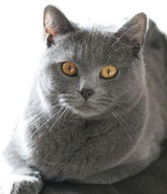 Voici le Chartreux, un très beau chat tout gris. Le chartreux, aussi appelé chat des Chartreux, est une race de chat originaire de F...