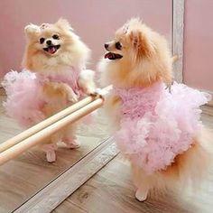 Pomeranian ballerina
