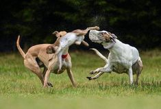 """On Thursday June 23rd, a Bill to ban the vile """"sport"""" of live hare coursing will be debated in the Dail, the Republic of Ireland's parliament. The following Thursday- June 30th- the Bill will be voted on. Your support is urgently needed to help persuade..."""