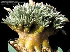 Avonia quinaria subsp. alstonii
