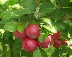 Malus domestica Sandra, höstsort. Nytt finskt äpple. Trädet växer kraftigt och brett samt har mycket löv. Bra grenvinklar. Frukten mognar i mitten av september. Stor till medelstor frukt med ljus grön bottenfärg och röd täckfärg på det matta skalet. Tydliga strimmor. nästan helt röda äpplen. Bild: Taimistoviljelijät.