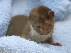 baby weasel, rescued after mystery poisoning, now recovering really well at Wildlife Aid in Surrey, England :D    >>> http://www.wildlifeaid.org.uk/