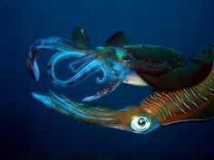 Humboldt Squids