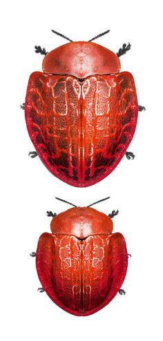 Botanochara bonariensis
