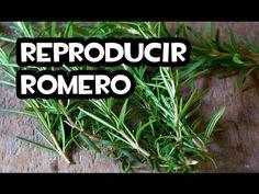 Reproducir Romero por Esquejes - La Huerta de Ivan