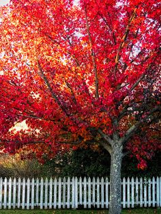 Radiant Red, Beautiful vibrant fall autumn leaves on a tree, seasons changing nature Backyard Fences, Fence Landscaping, Pool Fence, Seasons Of The Year, Fall Season, Autumn Leaves, Red Leaves, Autumn Trees, Mother Nature