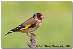 Goldfinch - Peter Woods LRPS