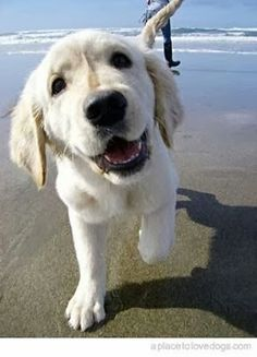 dog puppy at the beach