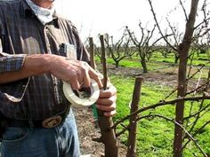 Straight and Side Graft, Grafting trees in the Bella Viva Orchards - YouTube