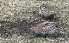 Partridge in Calgary, Alberta .. Also known as the Hungarian partridge, the gray partridge is a small bird introduced to Alberta in 1908. It is a native of the bush plains of Europe and western Asia. .By Martha Bondy