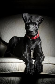 Great Danes Are Great
