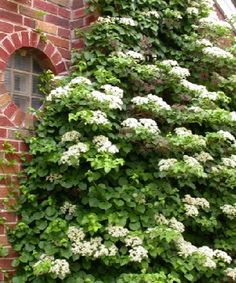Climbing hydrangea to replace the virginia creeper vine that we removed last fall. Should be pretty on the arbor in a few seasons.