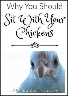 Why You Should Sit With Your Chickens - A Farmish Kind of Life