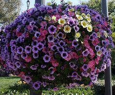 Petunia hanging flower basket