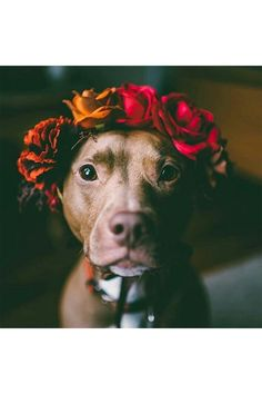 Uplifting So You Want A American Pit Bull Terrier Ideas. Fabulous So You Want A American Pit Bull Terrier Ideas. Cute Baby Animals, Animals And Pets, Funny Animals, Cute Puppies, Cute Dogs, Dogs And Puppies, Doggies, Chihuahua Dogs, Pit Bull Love