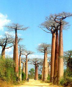 Majomkenyérfa Madagaszkár