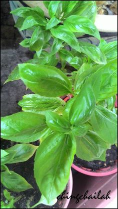I was first introduced to Basil plants by my ex-classmate many years ago when I visited her at her home in Taiping. I brought back many typ.
