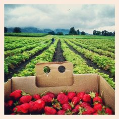 Pick Berries or Pumpkins on Sauvie Island in Portland, OR #Spring #Summer #Fall - http://sauvieisland.org/visitor-information/commercial-attractions/farm-stands/
