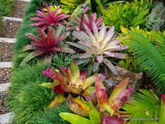 Gallery   Bromeliads NZ - love their plantings! Would fit really well in our sub tropical garden...