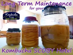 (Tap-info on making hotel for super simple steps!)Keeping the Kombucha SCOBY Hotel fresh is a recipe for long term brewing success. Here are quick tips for maintaining a healthy Kombucha SCOBY Hotel.