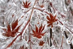 A Christmas Ice Storm - In Focus - The Atlantic - A layer of ice coats the leaves of a Japanese maple tree after an ice storm in Toronto, Ontario, on December 22.